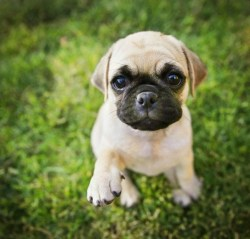 Small Of Boxer Pug Mix