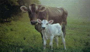 mother-cow-and-calf