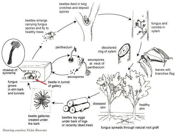 elm tree diagram