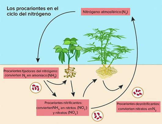 Pregon Agropecuario El Ciclo Del Nitrogeno En El Suelo