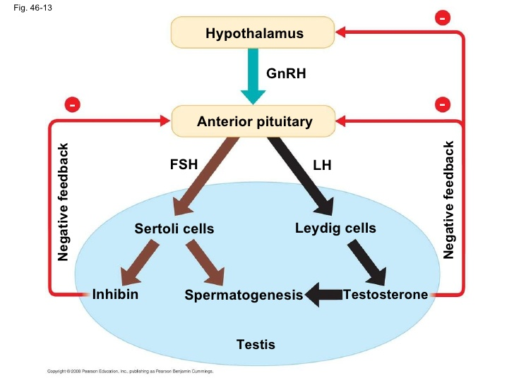 Which Male Hormone Inhibits The Secretion Of FSH?