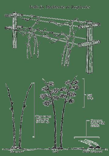 blackberry plant diagram