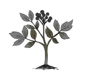 Plants that heal and kill - Blue Cohosh