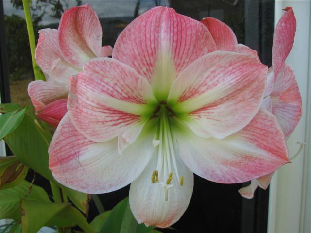 conseils de v 233 g 233 tation des amaryllis id 233 es sur les fleurs