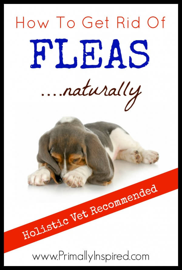 Natural Flea Control: How To Get Rid of Fleas Naturally - Primally ...