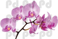 Orchid Wall Mural Decal