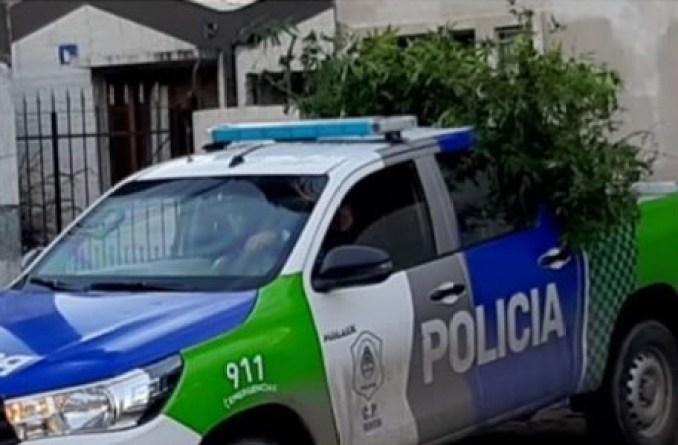 Plantas marihuana en Castelar