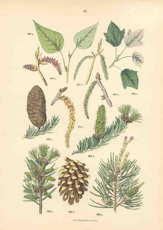 Poplar and Pine Trees