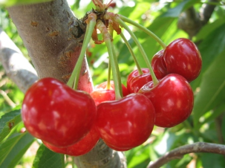 India Wallpaper 3d Cherry Is A Fleshy Fruit Drupe That Contains A Single