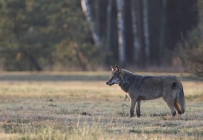 Mehr Wölfe - weniger Rehe?