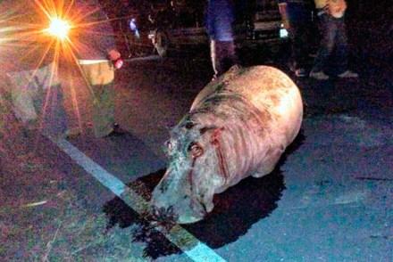El hipopótamo atropellado en Puebla. Foto: e-consulta