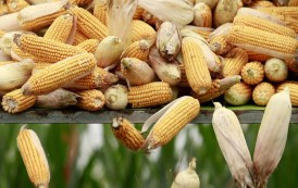 China reforms the corn sector