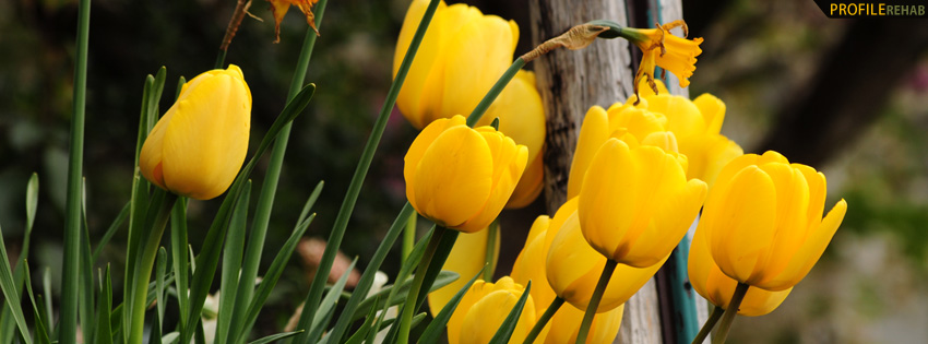 Free Fall Facebook Wallpaper Yellow Tulips Facebook Cover