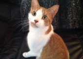 Gus Bennett 4, orange and white kitty