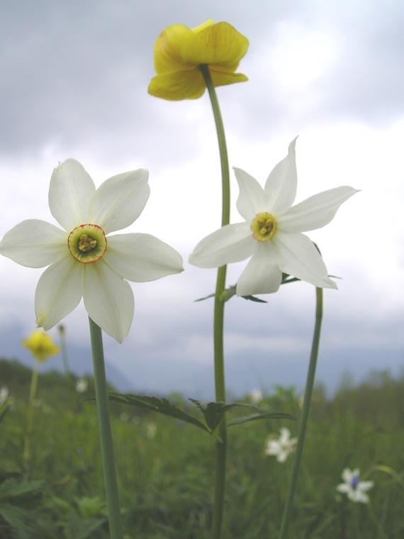 Festa del Narciso