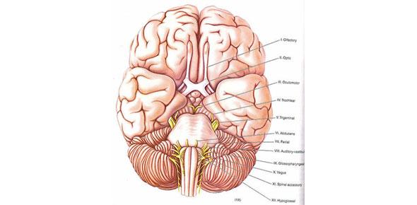 50 Question Anatomy 214 Cranial Nerves Test - ProProfs Quiz