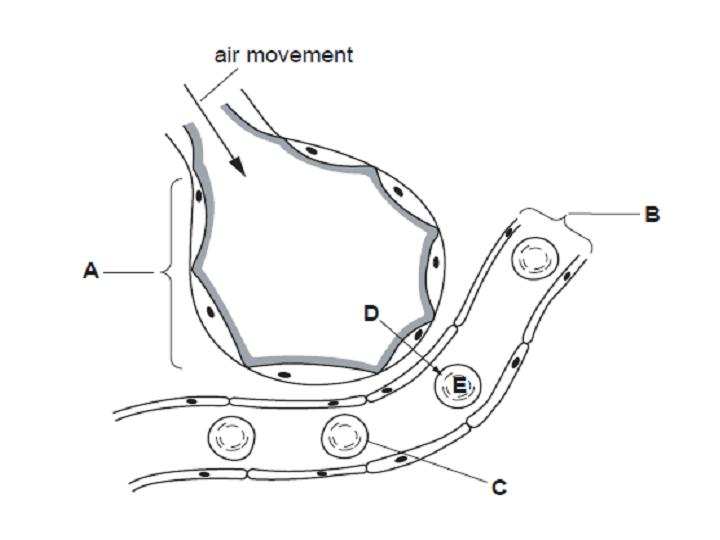 diagram of air entering the lungs