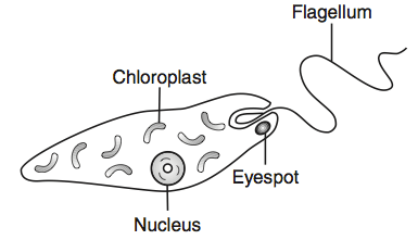 euglena diagram