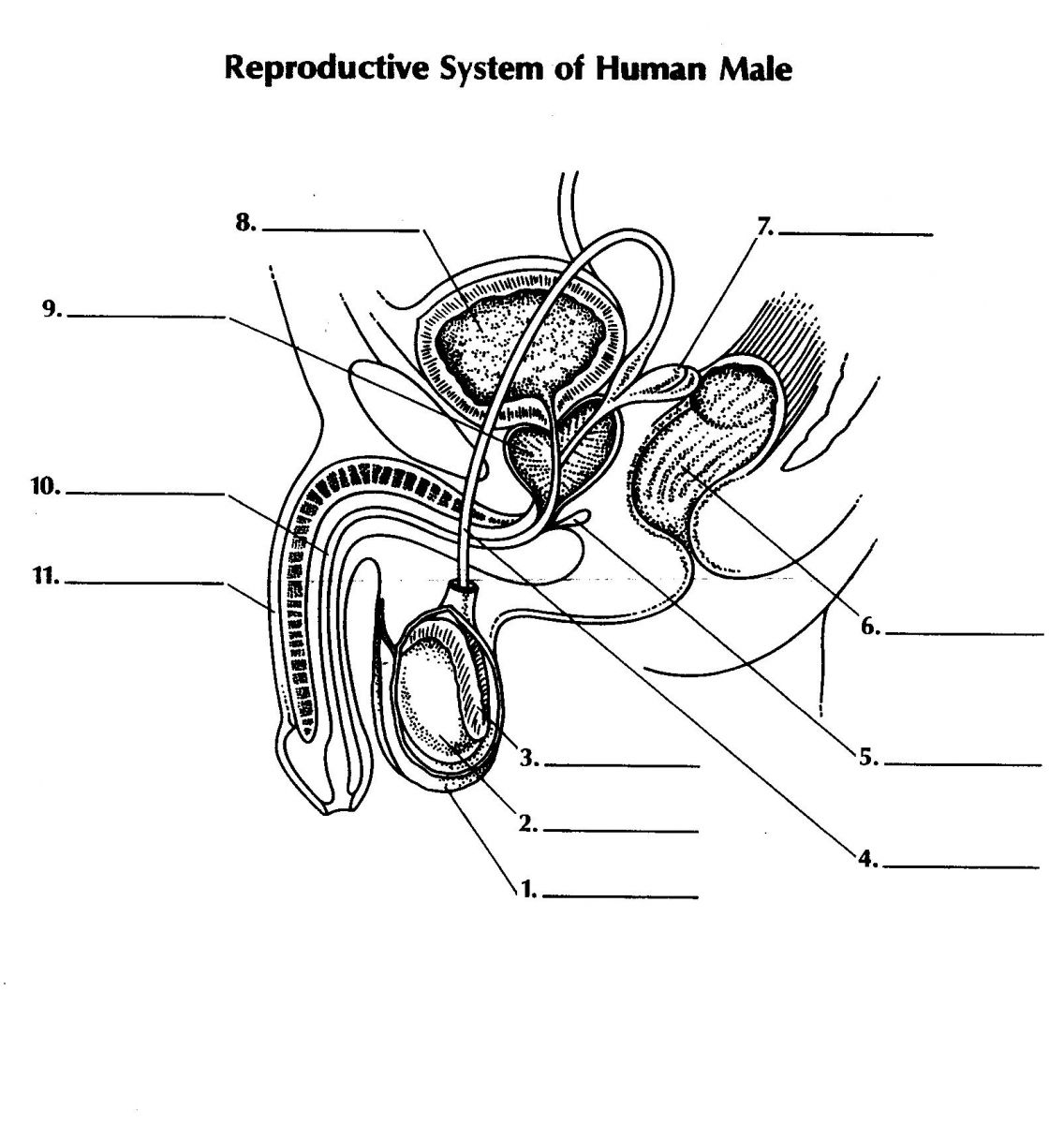 male reproductive system blank diagram and answers
