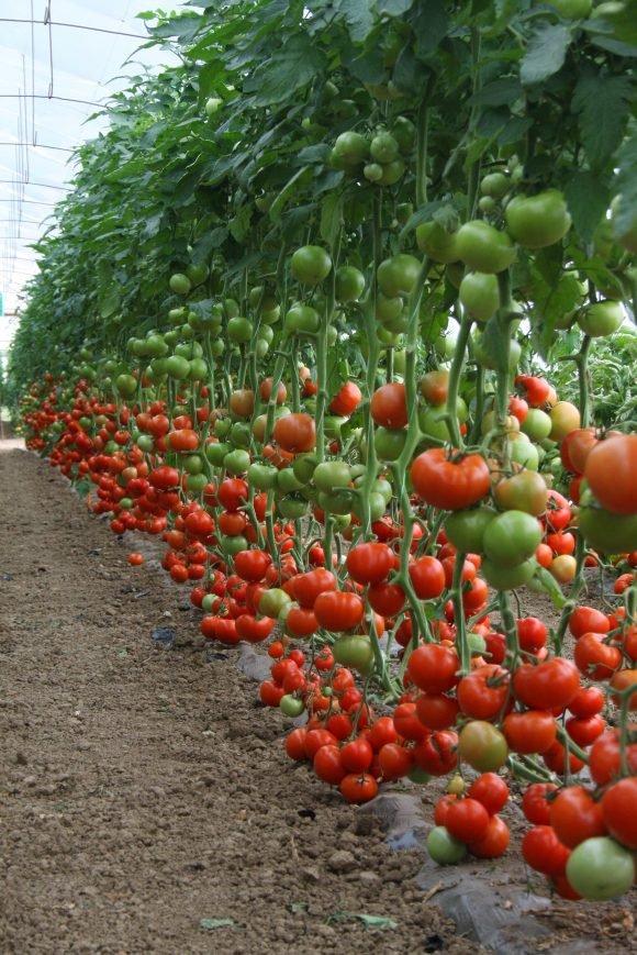 diagramma paradajz
