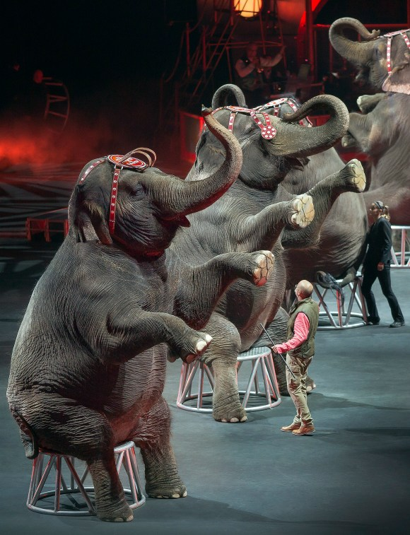 Photo by Gary Bogdon | AP Photo/Feld Entertainment Inc. In this Jan. 3, 2015 photo provided by Feld Entertainment Inc., elephants perform at the Ringling Bros. and Barnum & Bailey Circus, at the Amalie Arena in Tampa, Fla. The Ringling Bros. and Barnum & Bailey Circus said it will phase out its iconic elephant acts by 2018.