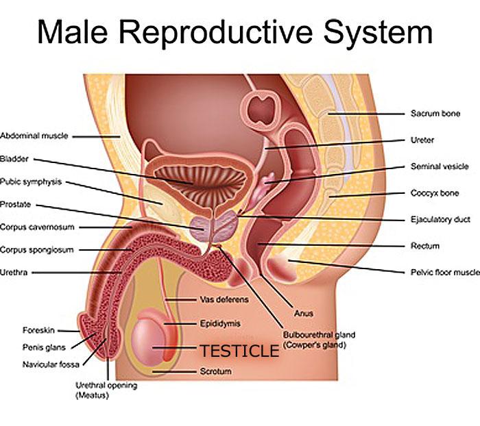 male orgasm diagram