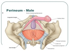 The Male Perineum