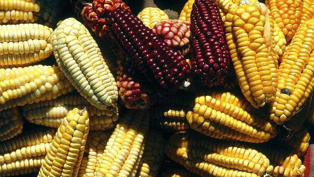 maiz peruano