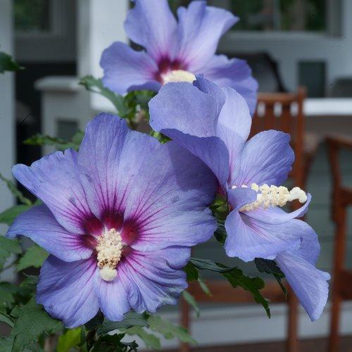 Azurri Blue Satin® - Rose of Sharon - Hibiscus syriacus Proven Winners