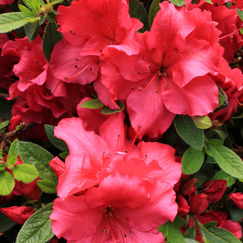 Bloom-A-Thon® Red - Reblooming Azalea - Rhododendron x Proven Winners