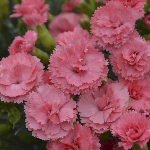 Fruit Punch® \u0027Classic Coral\u0027 - Pinks - Dianthus hybrid Proven Winners