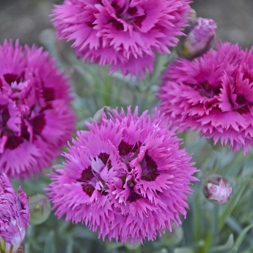 Fruit Punch® \u0027Spiked Punch\u0027 - Pinks - Dianthus hybrid Proven Winners