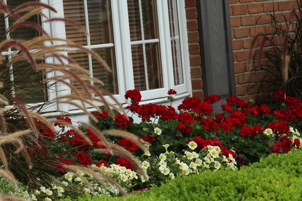 Boldlyr Dark Red Geranium Pelargonium Interspecific