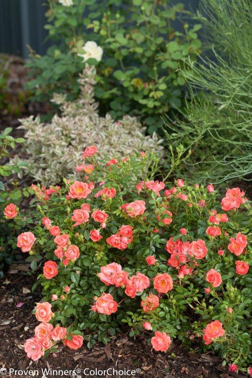 Medium Of Ground Cover Roses