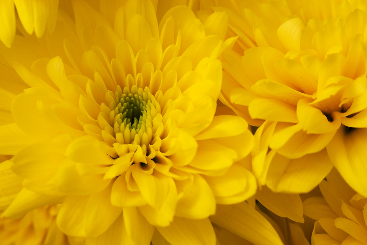 Wallpaper Hd 1080p Free Download For Mobile Chrysanthemum Free Stock Photo Public Domain Pictures