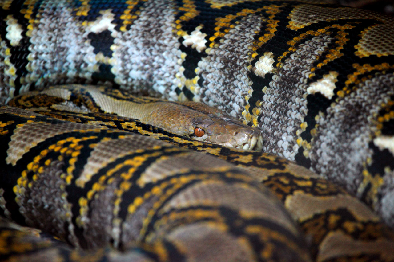 Kd Wallpaper Hd Large Snake Free Stock Photo Public Domain Pictures