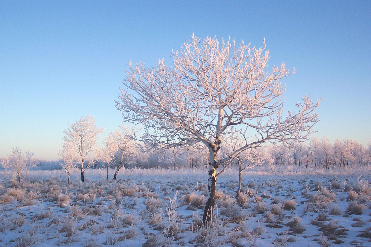 Snow Falling Background Wallpaper Lone Tree Light Frost Free Stock Photo Public Domain