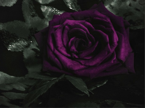 Free Fall Flowers Wallpaper Dark Violet Rose Free Stock Photo Public Domain Pictures