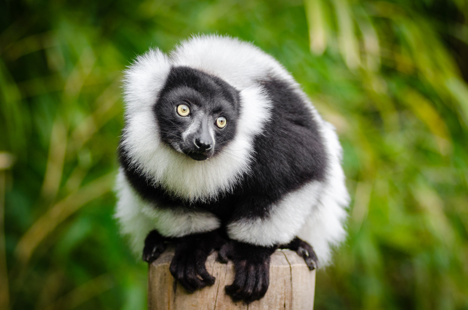 Black And White Animal Wallpaper Ring Tailed Lemur Lemur Free Stock Photo Public Domain