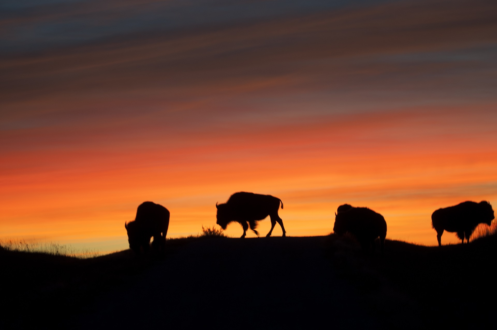 Desert Landscape Wallpaper Hd Bison Buffalo At Sunrise Free Stock Photo Public Domain