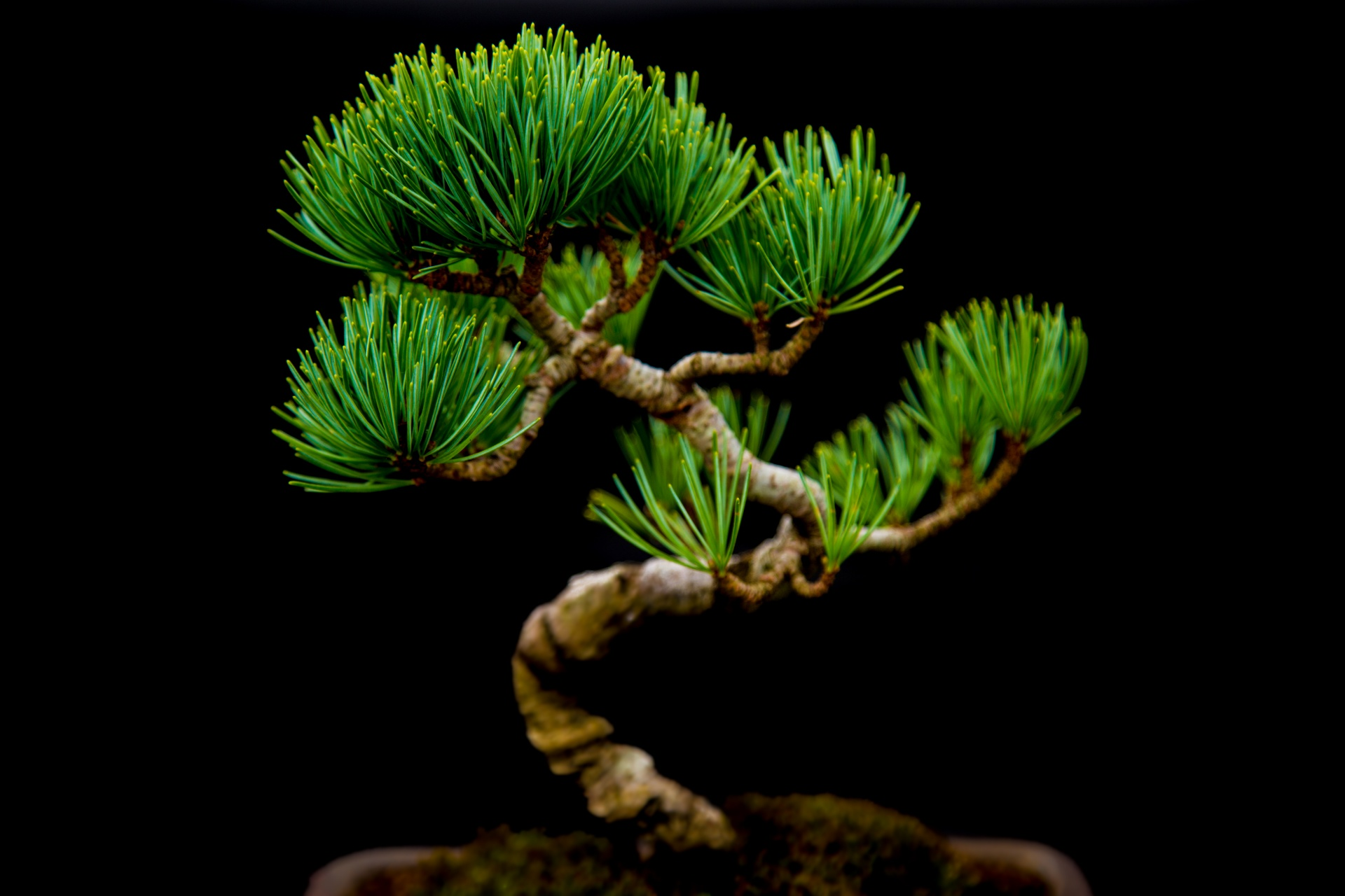 Black And Grey Wallpaper Miniature Japanese Bonsai Tree Free Stock Photo Public