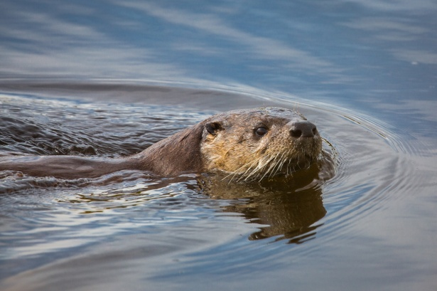 Cute Otter Wallpaper River Otter Swimming Free Stock Photo Public Domain Pictures