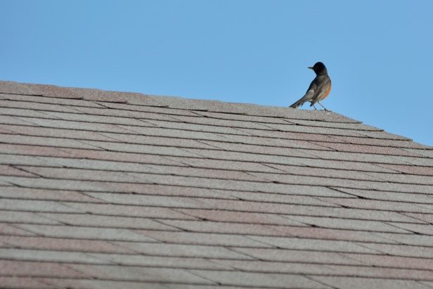 Robin On Roofing Free Stock Photo - Public Domain Pictures