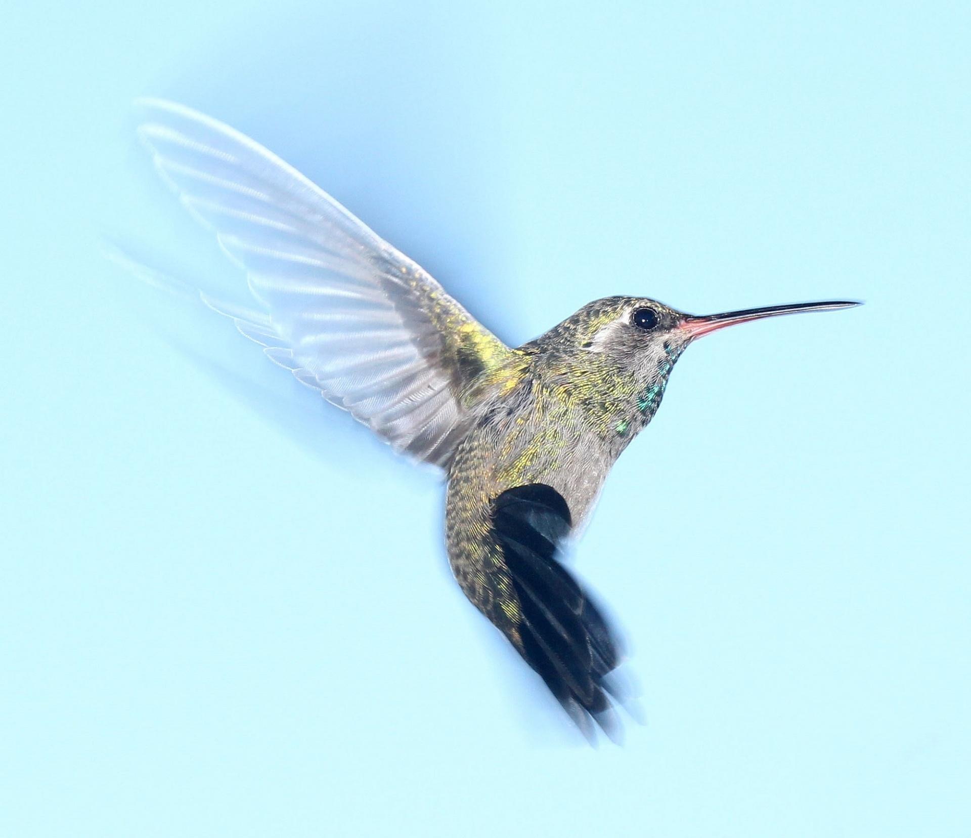 Wings Wallpaper Hd Hummingbird In Flight Free Stock Photo Public Domain