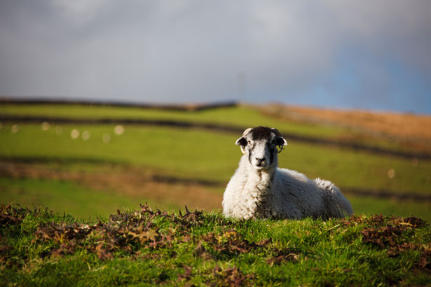 Animal Farm Wallpaper Lying Sheep Free Stock Photo Public Domain Pictures