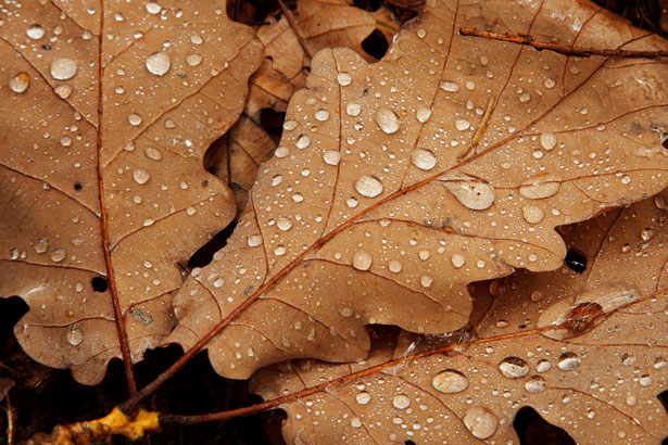 Leaf Wallpaper Wet Fall Water Drops On Leaves Free Stock Photo Public Domain