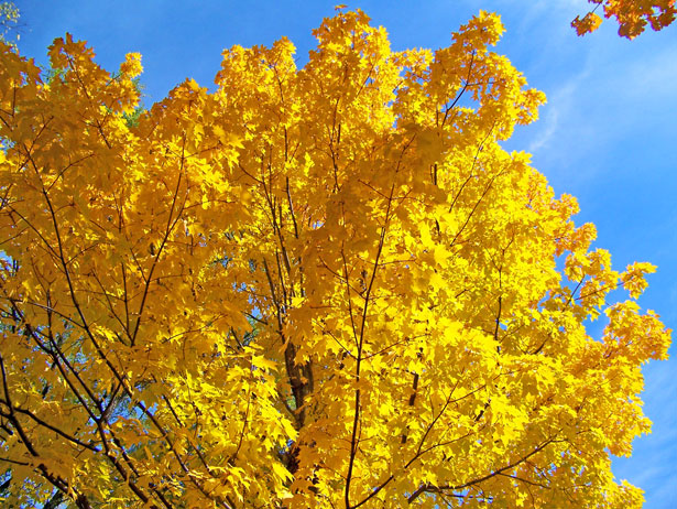Fall Birch Tree Wallpaper Yellow Maple Tree Branches Free Stock Photo Public