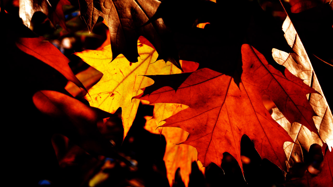 Falling Maple Leaves Wallpaper Autumn Leaves Free Stock Photo Public Domain Pictures