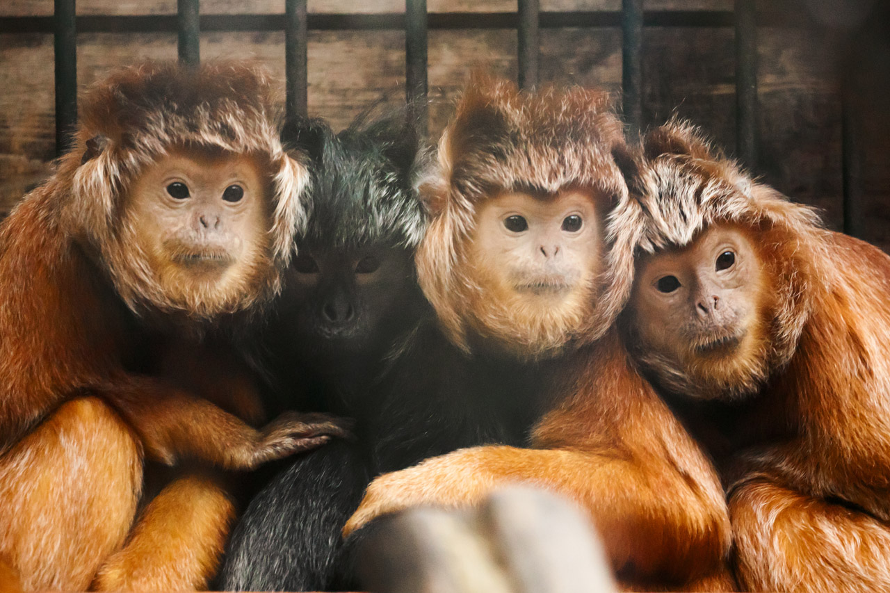 Cute Animal Wallpapers Free Download Javan Lutung Free Stock Photo Public Domain Pictures