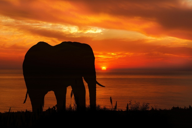 Ocean Animals Wallpaper Elephant Sunset Silhouette Free Stock Photo Public